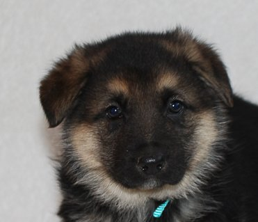 Rocky - a male AKC German Shepherd puppy in Indiana