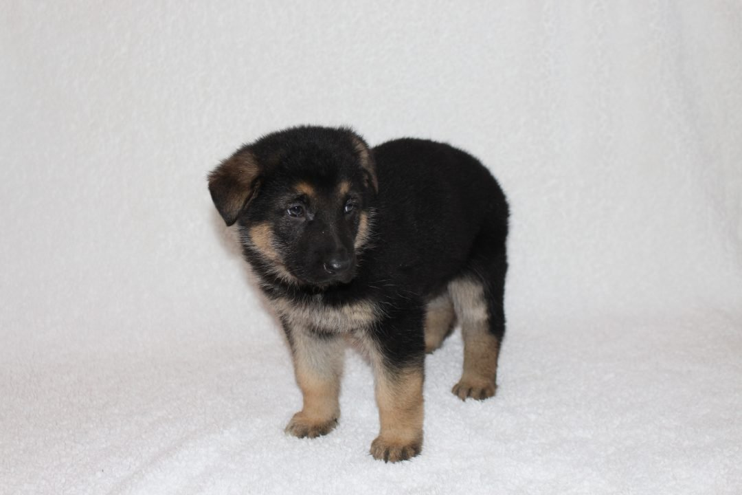 Hallie - a female AKC German Shepherd puppy for sale in Grabill, Indiana
