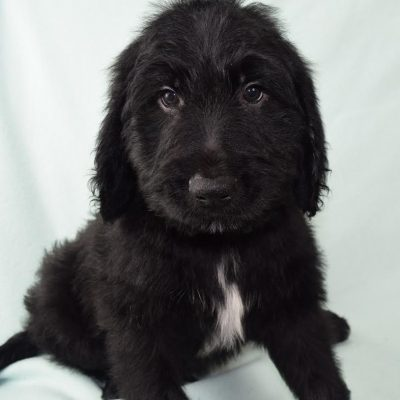 Henry - a charming CKC male Goldendoodle puppy for sale in Nebraska
