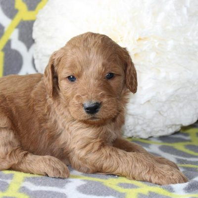 Jacy - a female ACA Goldendoodle puppy for sale in Goshen, IN