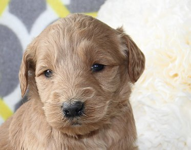 Jasper - a male ACA Goldendoodle puppy for sale in Goshen, Indiana