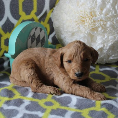 Jasmine - a female ACA Goldendoodle puppy for sale in Goshen, Indiana