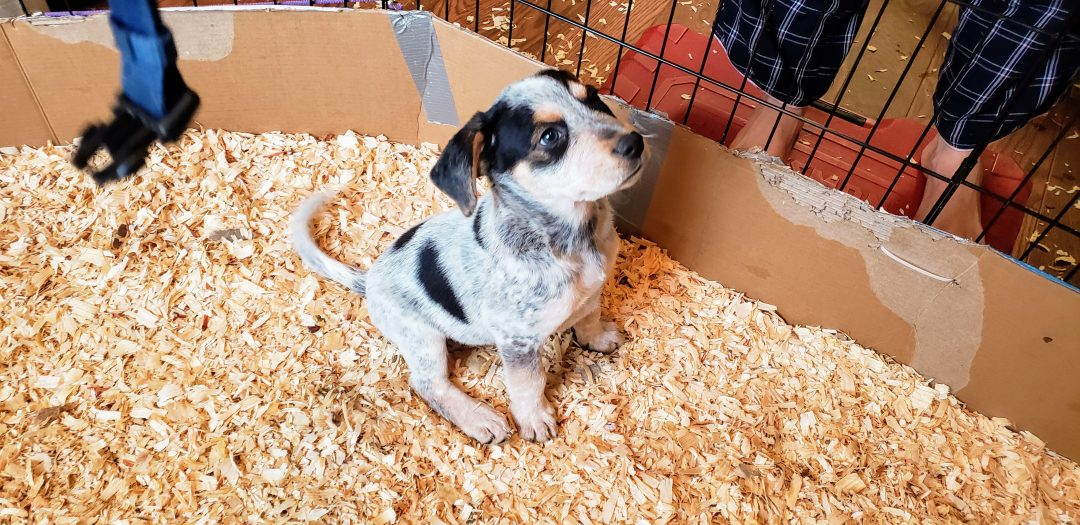 TEDDY - a Blue Heeler and Rottweiler mix puppy for sale in Atlanta, Georgia