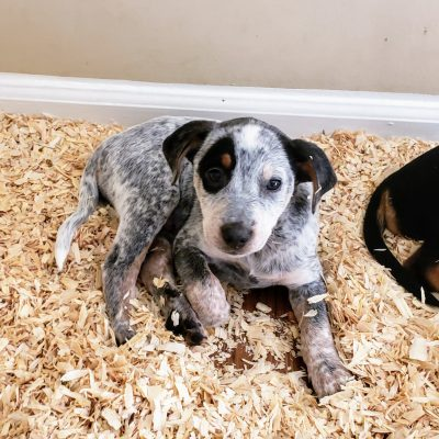 Dog Breeder near me with Quality Puppies for Sale  | VIP Puppies