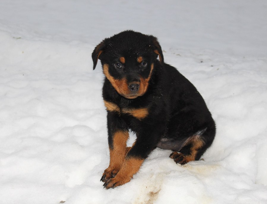 Lindsey - A female AKC Rottweiler puppy for sale in Grabill, IN