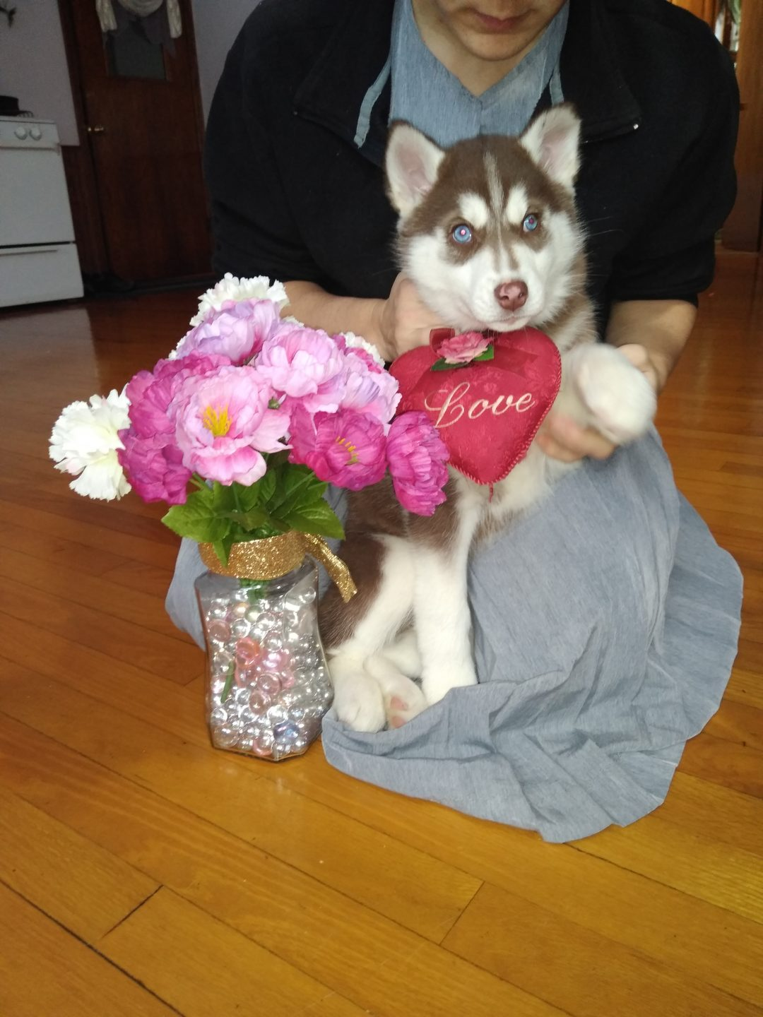 Zoey - a female ACA Siberian Husky puppy for sale in Grabill, Indiana