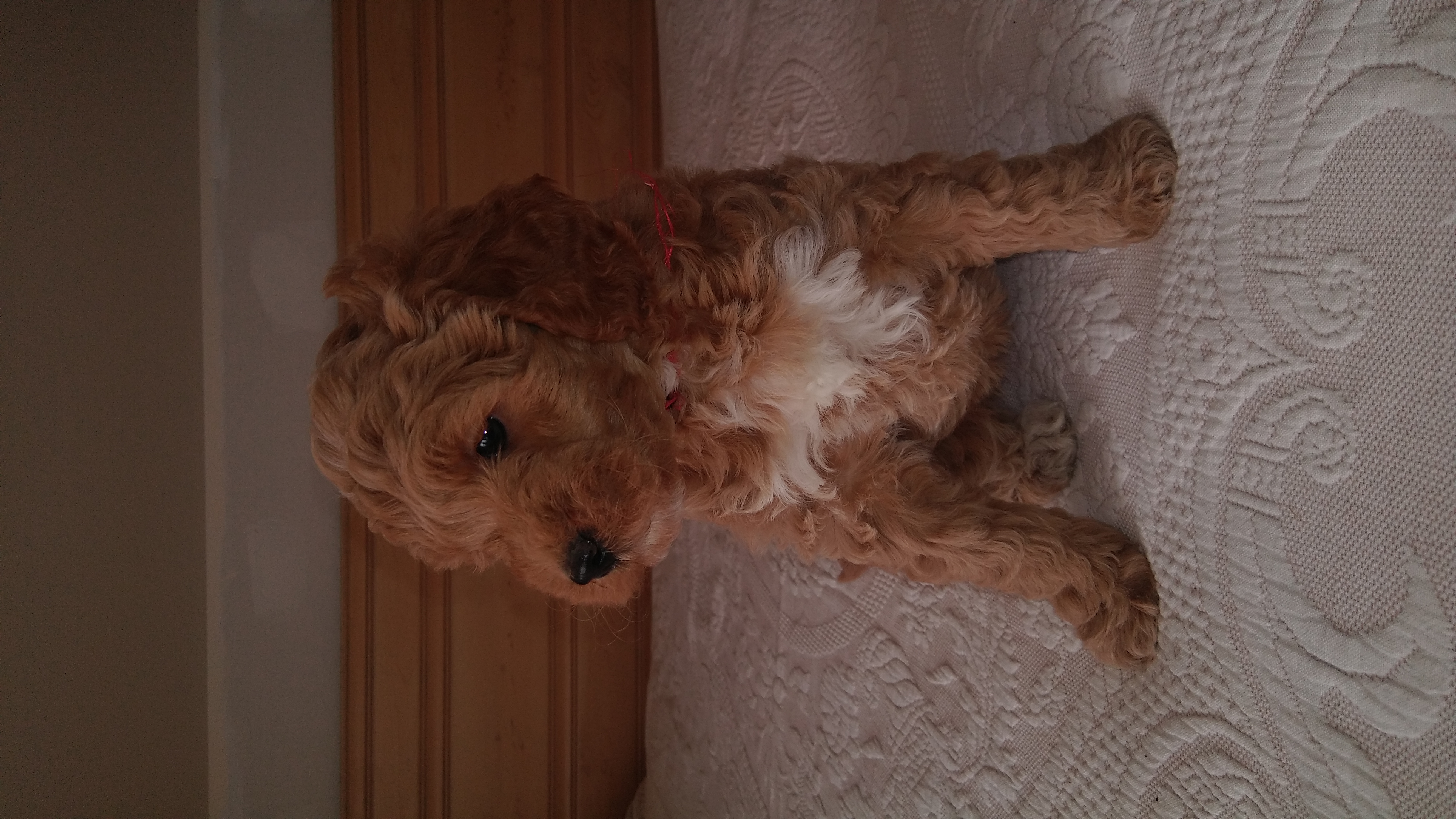 Flipboard: Daisy – a female Miniature Goldendoodle puppy for sale in