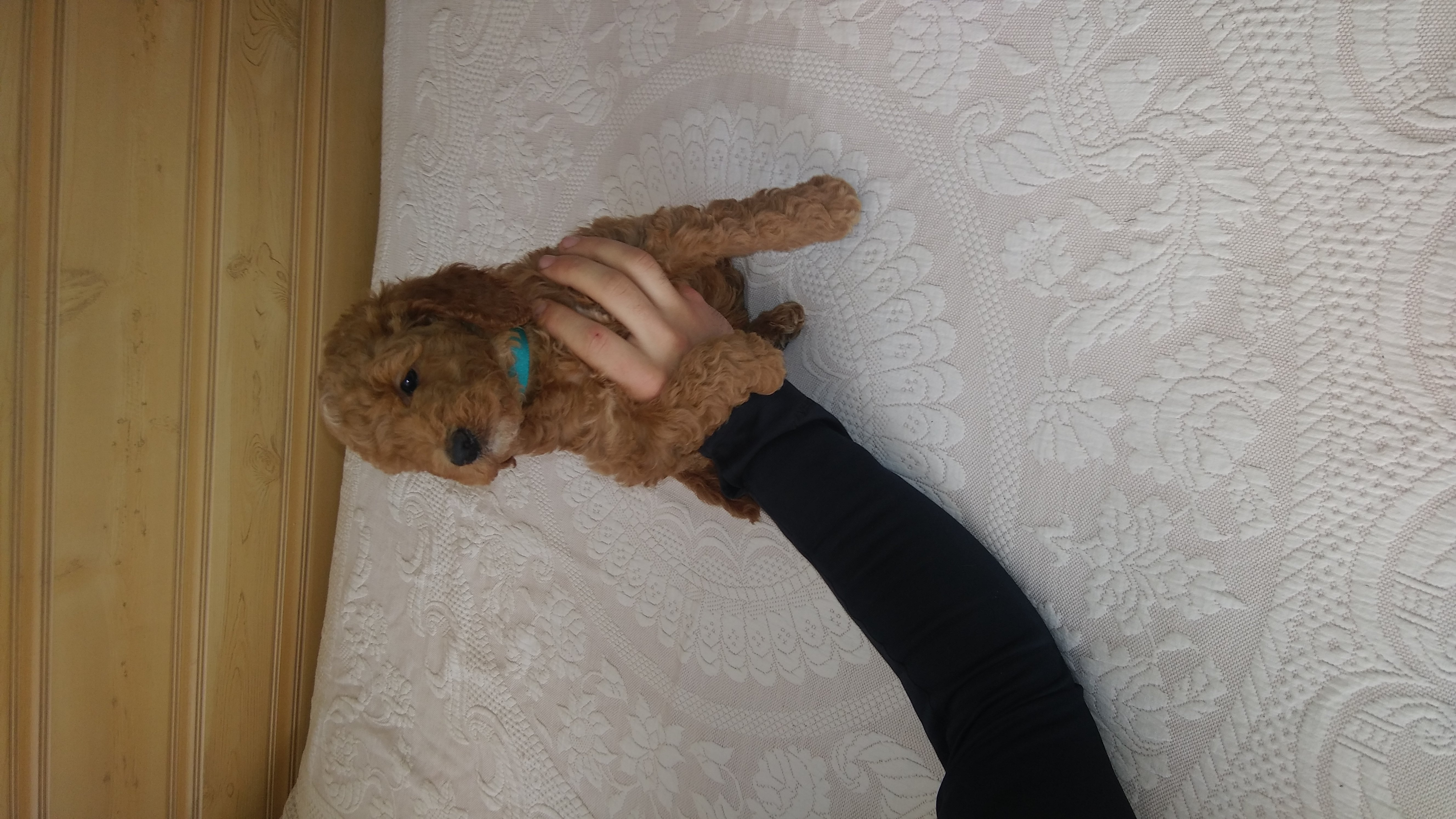 Jayden - a friendly miniature Goldendoodle puppy for sale in Reading, Michigan