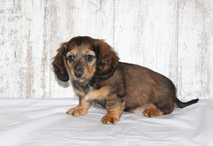 Burno - a male AKC Dachshund puppy for sale in Shipshewana, Indiana