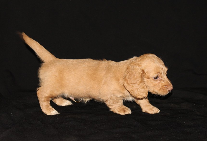 Duke - a male AKC Dachshund puppy for sale in Indiana