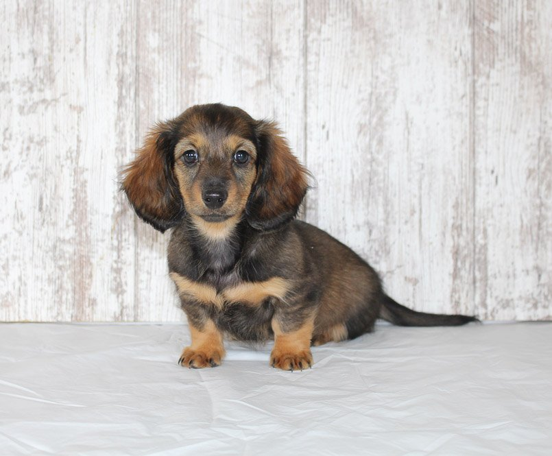 Brie - a female AKC Dachshund puppy for sale in northern Indiana