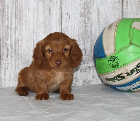 Rea - a female AKC Dachshund puppy for sale in Shipshewana, Indiana