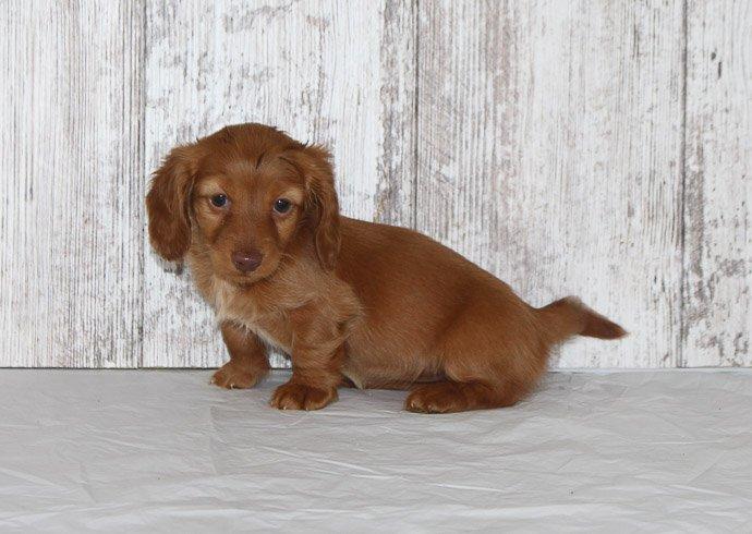 Rea - a female AKC Dachshund puppy for sale in Shipshewana, Indiana