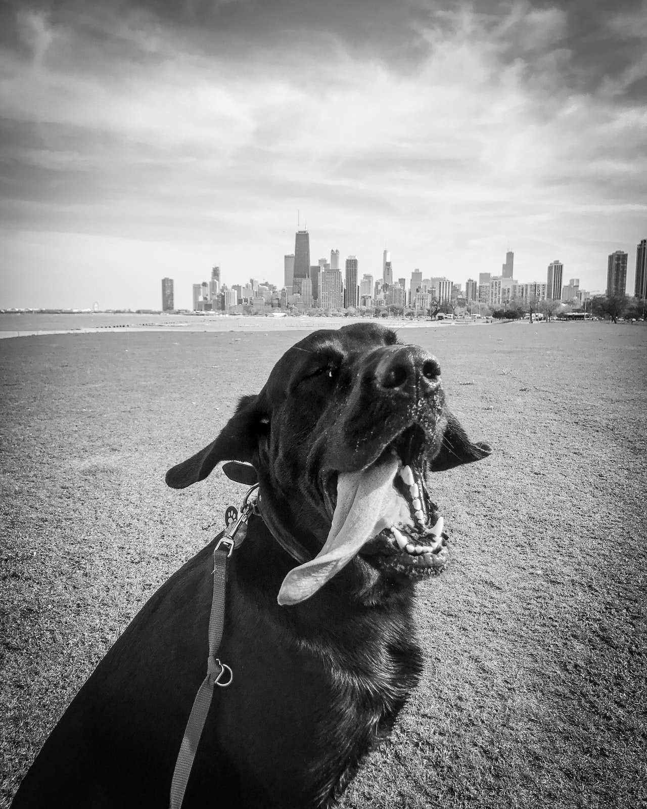 A male black dog with a city as the backdrop.