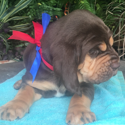 Red / blue - an AKC Bloodhound puppy for sale from Texas