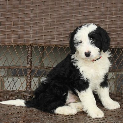 Chester - a male Mini Bernedoodle puppy near Fort Wayne, Indiana