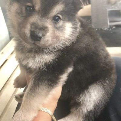 Spirit - A female Wolamute puppy in Oakland, California