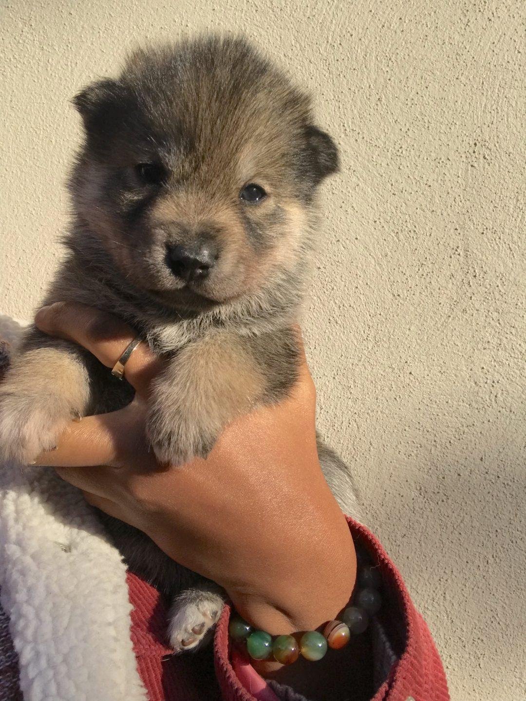 Kodak - a female Wolamute puppy for sale in Oakland, California