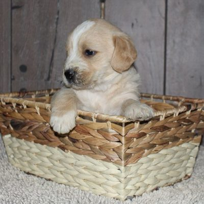 Rondo - a bright Labradoodle puppy for sale in New Haven, Indiana