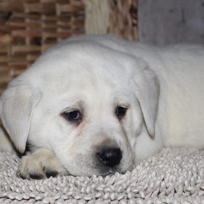Johnnie - a clever Labrador Retriever puppy for sale in Indiana