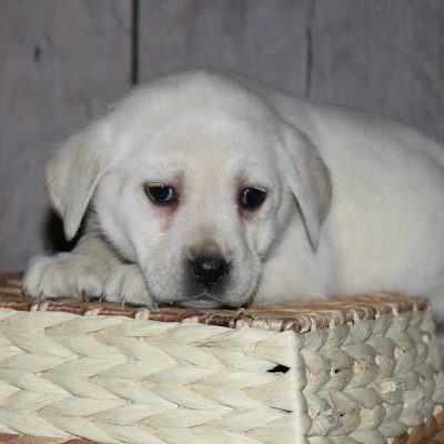 Sweetie - a calm Lab puppy for sale in New Haven, Indiana