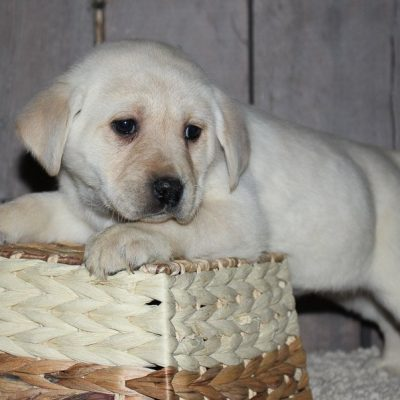 Lovley - a charming AKC Labrador Retriever puppy for sale in New Haven, IN