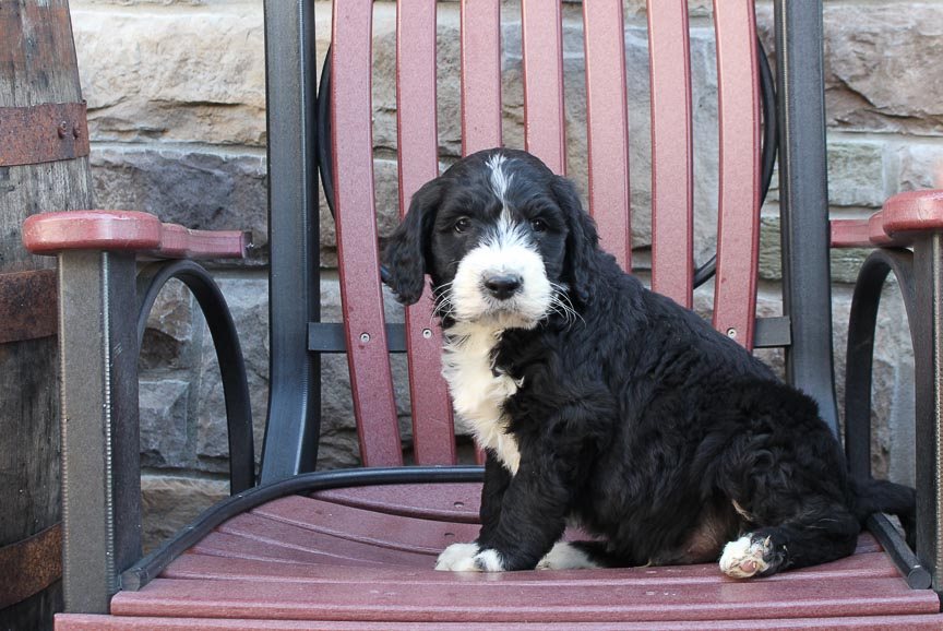 Rambo - a male Labradoodle puppy for sale in New Haven, Indiana