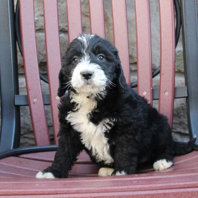 Misty - a female Labradoodle puppy for sale from New Haven, Indiana