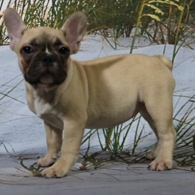 Betti - an AKC French Bulldog puppy for sale in Nappanee, Indiana