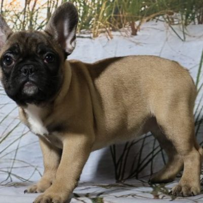 Gracie - a female AKC French Bulldog puppy for sale in Nappanee, IN