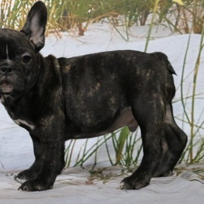 Terrel - a male AKC French Bulldog for sale in Nappanee, Indiana