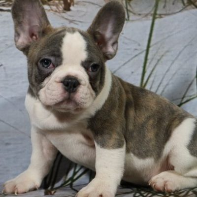 Flynn - a male AKC French Bulldog for sale in Nappanee, IN