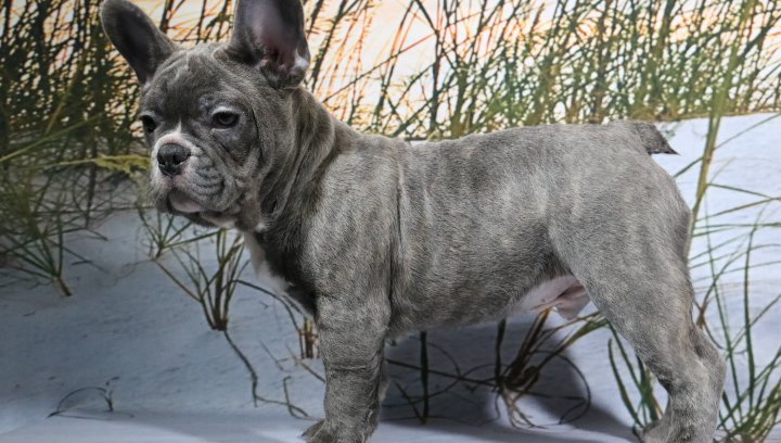 Blake - a male AKC French Bulldog puppy for sale in Nappanee, Indiana