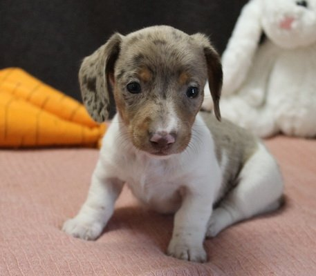 Diva - a charismatic UABR Dachshund puppy for sale in Caulfield, Missouri