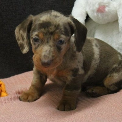 Dante - a bouncy UABR Dachshund puppy for sale in Caulfield, Missouri