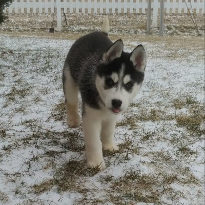 Lilly - a sweet AKC Siberian Husky puppy for sale in Grabill, Indiana