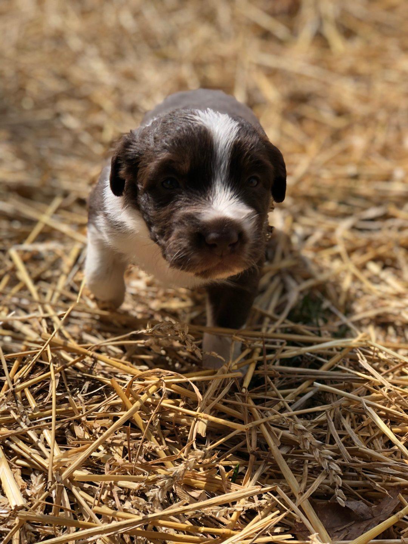 Buckeye  - a male ASDR/CKC Australian Shepherd puppy for sale in Ohio