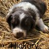 Hickory - a ASDR/CKC Australian Shepherd puppy in Stockport, Ohio