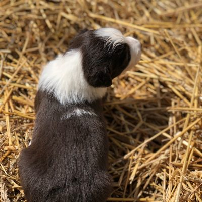 Holly - a ASDR/CKC Australian Shepherd puppy for sale from Stockport, Ohio