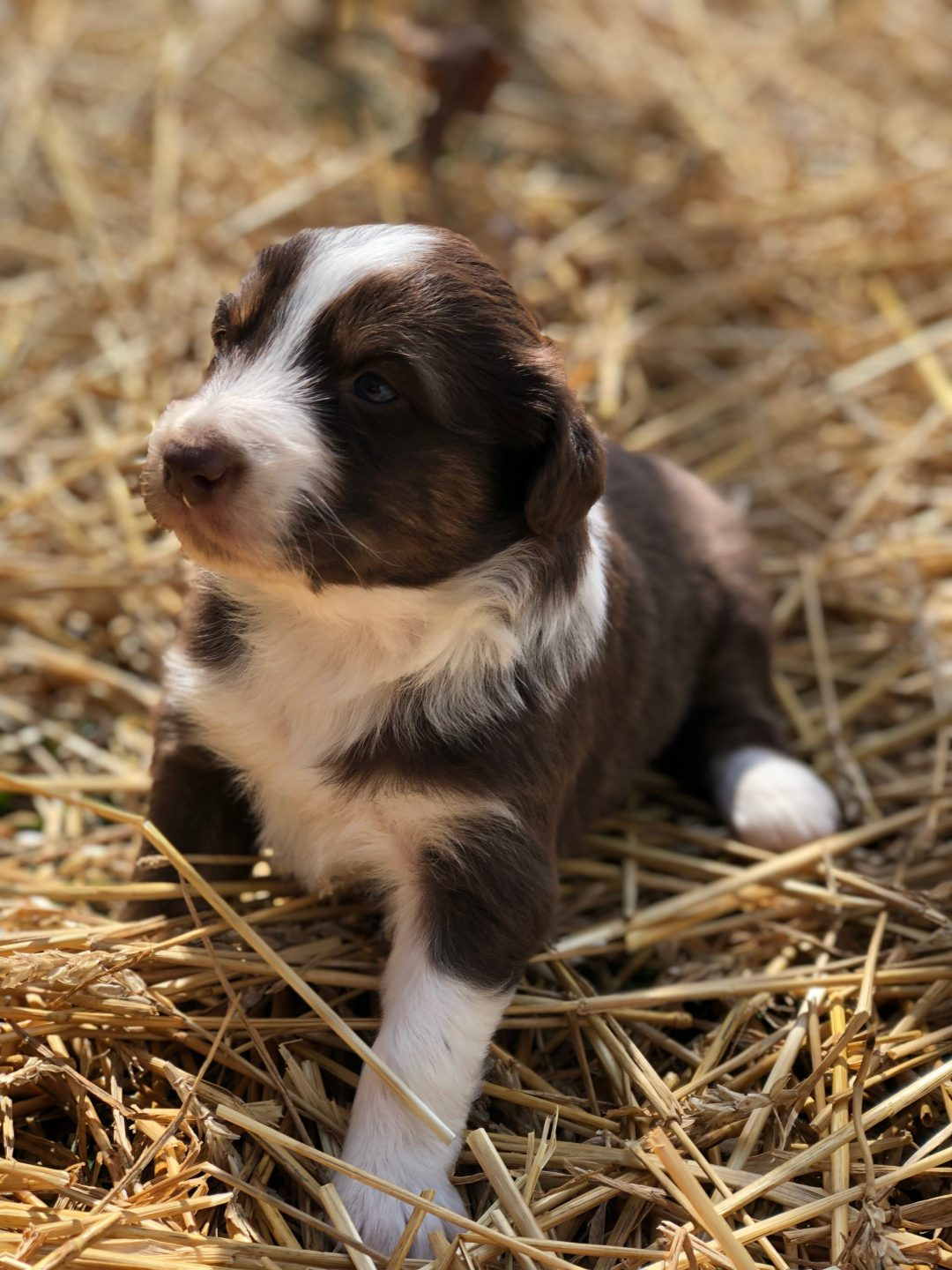 Maple - a female ASDR/CKC Australian Shepherd puppy in Stockport, Ohio