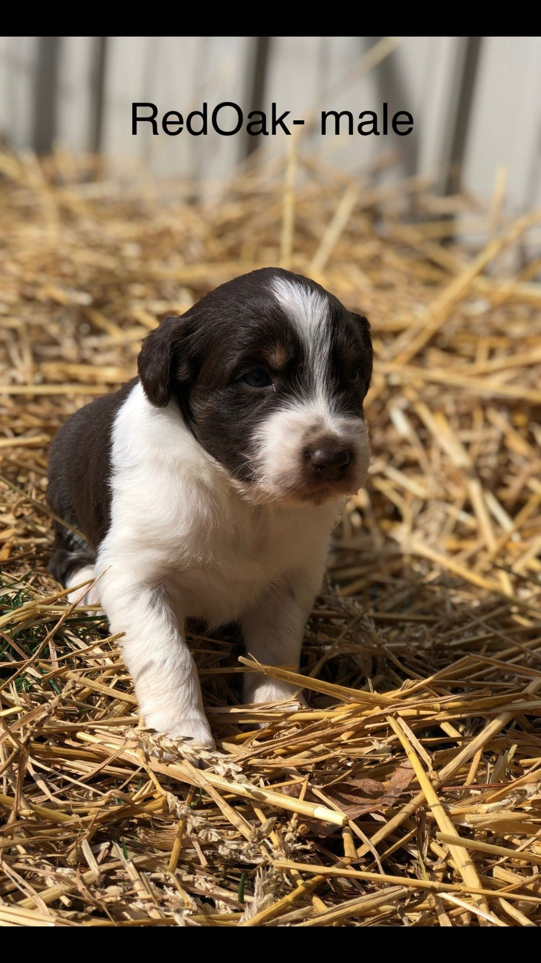"""Red Oak"" - Red: a ASDR/CKC Australian Shepherd puppy for sale in Stockport, OH"