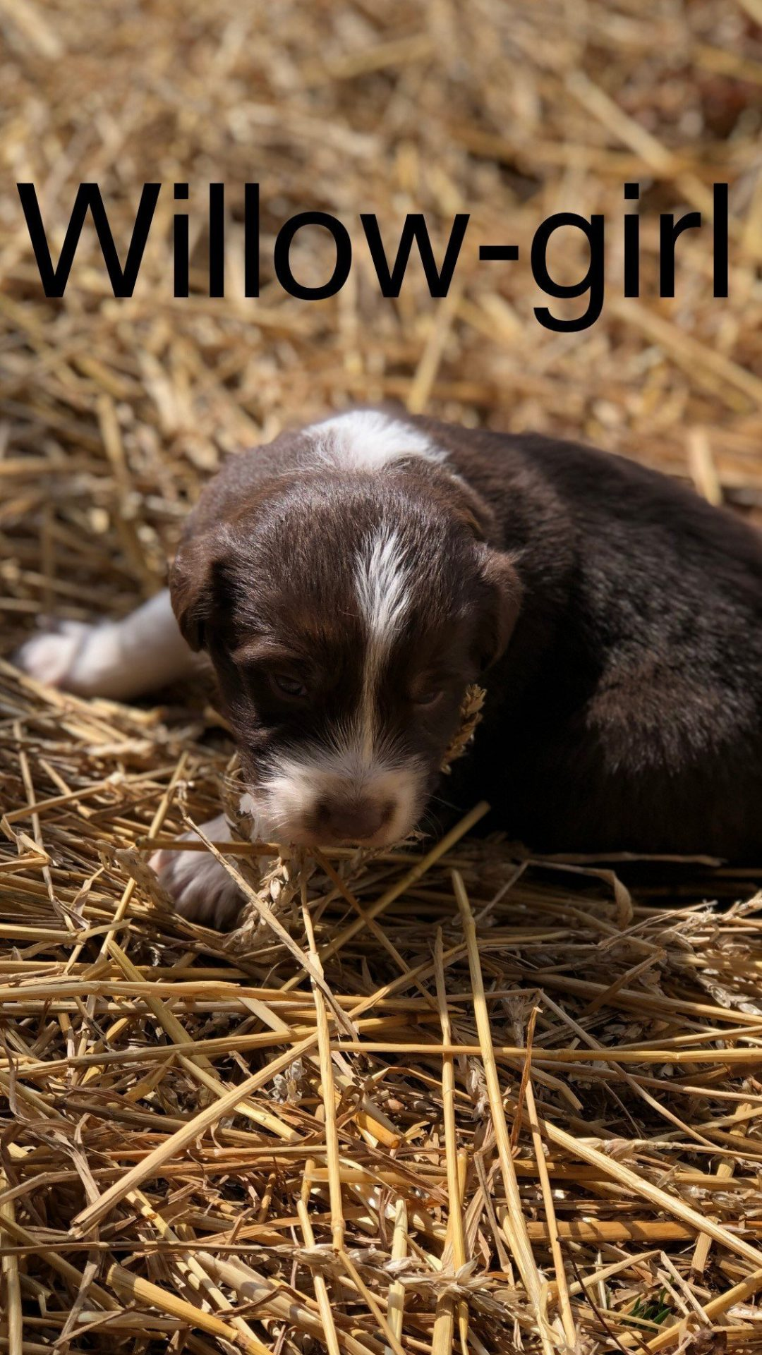 Willow - a female ASDR/CKC Australian Shepherd puppy for sale in Ohio