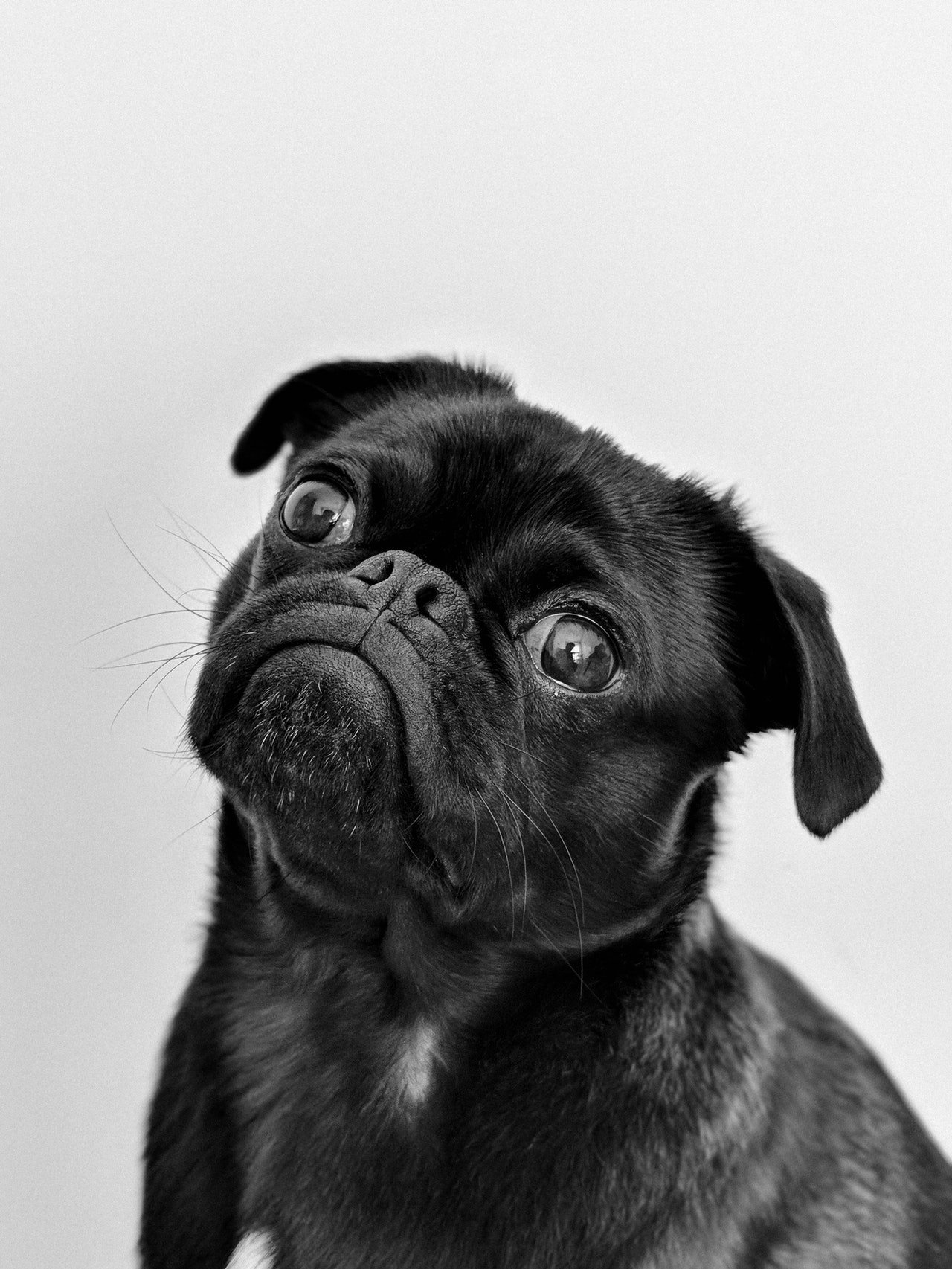 Close up head shot of black dog with solid white background.