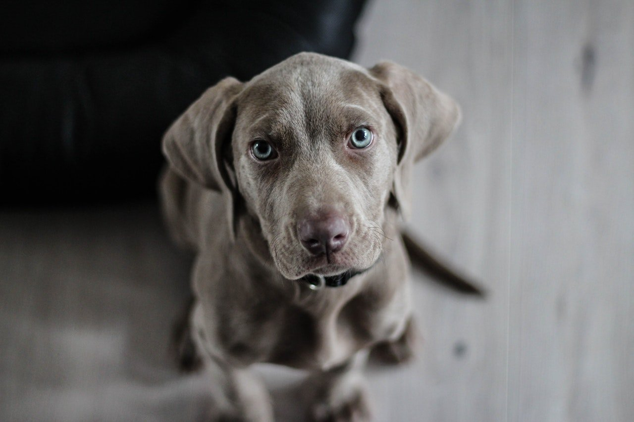 Blue eyed dog looking up with blurred background