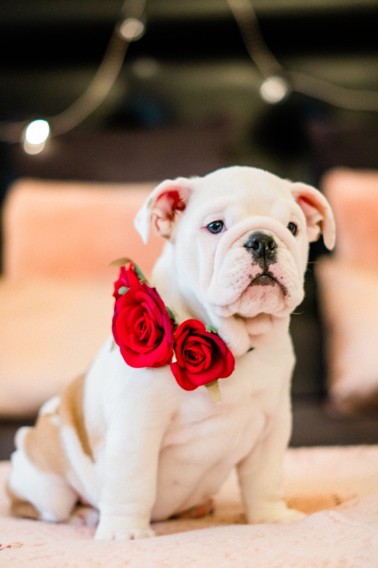 Dog sitting with rose flowers on his collar.