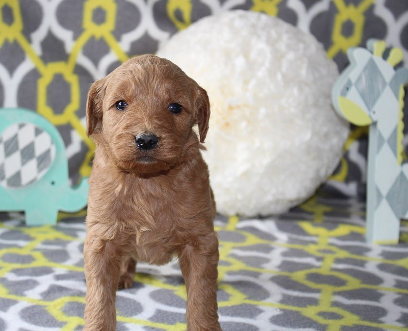 Jazzy - a female Goldendoodle puppy for sale in Goshen, Indiana