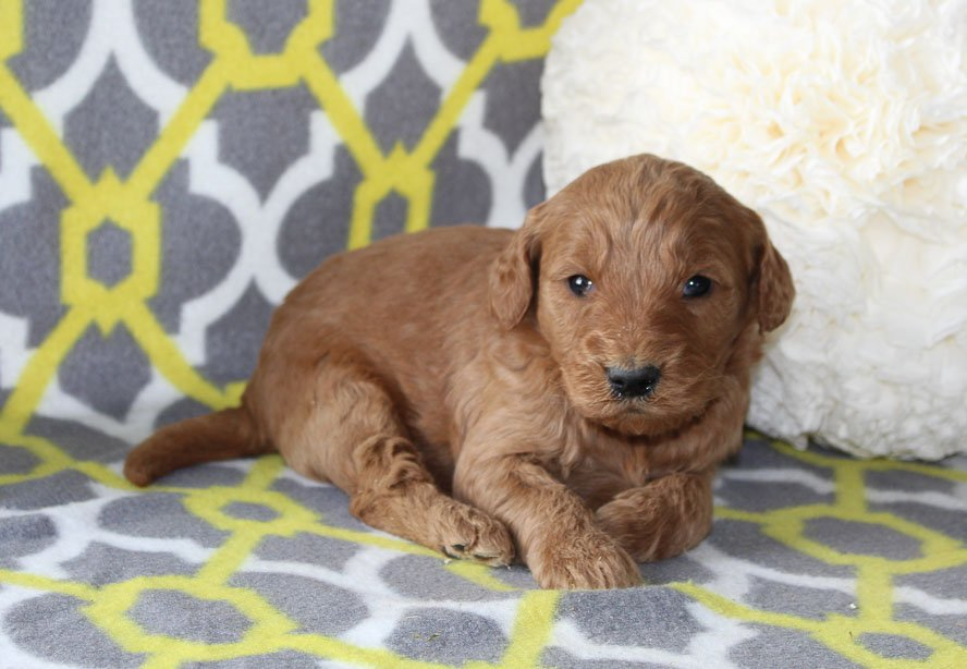 Jewel - a female ACA Goldendoodle pupper for sale in Indiana