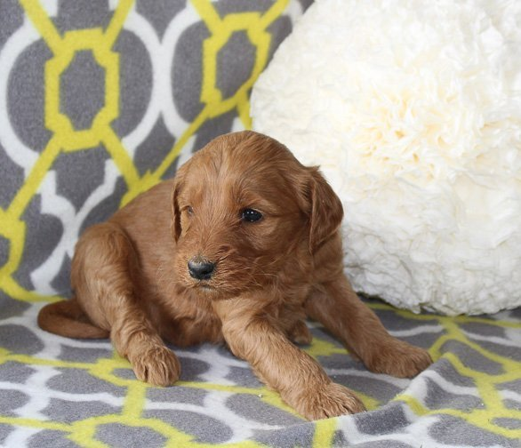 Jenni - an ACA Goldendoodle puppy for sale in Goshen, Indiana