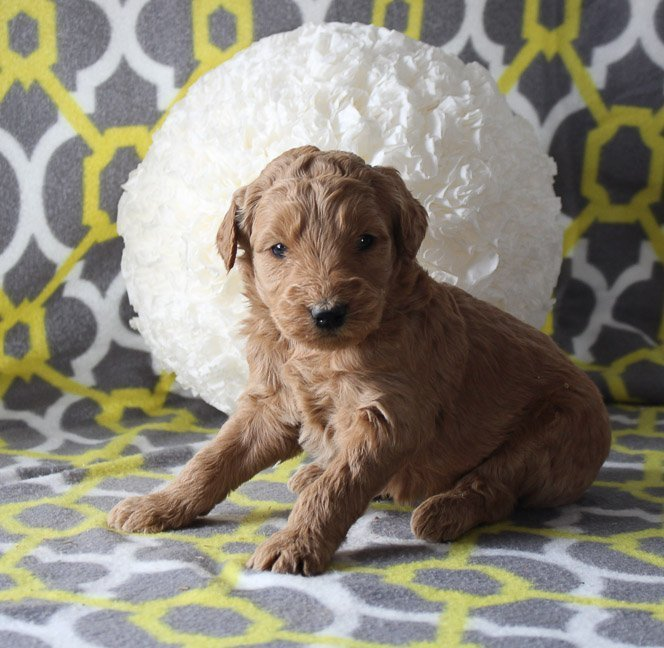 Justice - a male Goldendoodle puppy for sale in Goshen, IN