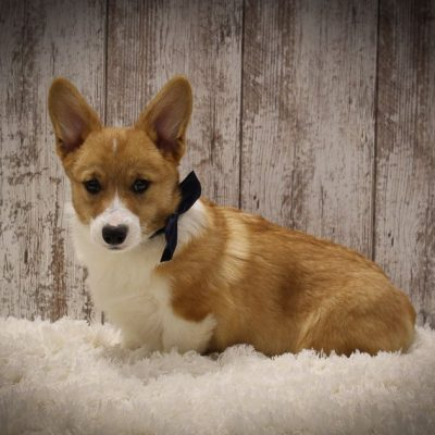 Bentley - A DM Free Male AKC Pembroke Welsh Corgi Puppy in Woodburn, Indiana